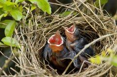Pájaros jovenes Fotos de archivo libres de regalías