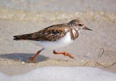 Pájaros rubicundos de la Turnstone-Playa Foto de archivo libre de regalías