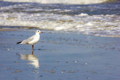 Pájaros salvajes en la playa rumana Foto de archivo