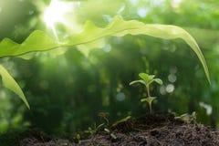 Plántula que crece bajo licencia larga con salida del sol en bosque Foto de archivo