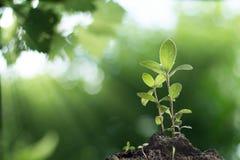 Plántula que crece con el fondo borroso salida del sol Fotografía de archivo libre de regalías