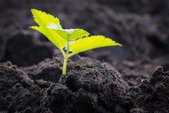 Plántula que crece en suelo Almácigo de la agricultura Imagen de archivo libre de regalías