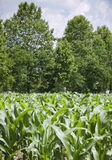 Plántulas en un campo de maíz Foto de archivo libre de regalías