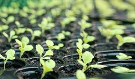 Plántulas que crecen en planta Invernadero verde de las verduras Cabeza cada vez mayor de la mantequilla de las verduras en un in imagen de archivo libre de regalías