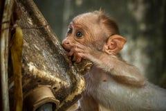 Plástico de la prueba del mono de macaque de capo del bebé fotografía de archivo