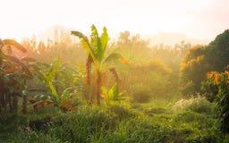 Plátano arden con la llamarada de la luz de Sun por la mañana imagen de archivo libre de regalías
