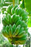 Plátano cultivado Imagenes de archivo