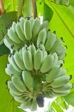 Plátano cultivado Fotografía de archivo