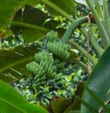 Plátano cultivado Foto de archivo libre de regalías
