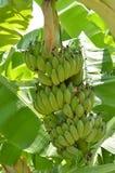 Plátano cultivado fresco en el árbol Imágenes de archivo libres de regalías