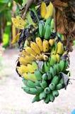 Plátano cultivado fresco en el árbol Fotografía de archivo