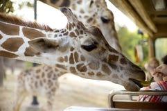 Plátano de alimentación de la mano a la jirafa Fotografía de archivo libre de regalías