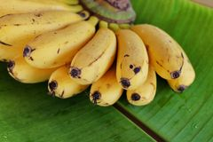 Plátano de Latundan Imágenes de archivo libres de regalías