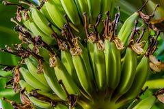 Plátano del bebé imagenes de archivo