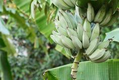 Plátano en naturaleza imagen de archivo