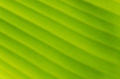 Plátano Leaf-16 Fotos de archivo libres de regalías
