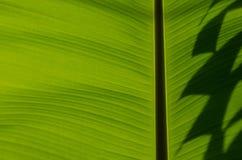 Plátano Leaf-23 Fotografía de archivo libre de regalías