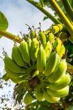 Plátano maduro en el delta del Mekong Imágenes de archivo libres de regalías
