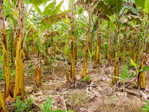 Plátano que cultiva en el Brasil fotos de archivo