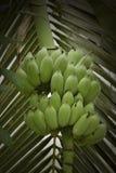 Plátano sin procesar Fotografía de archivo libre de regalías