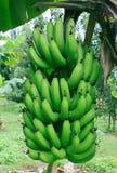 Plátano verde Fotografía de archivo libre de regalías