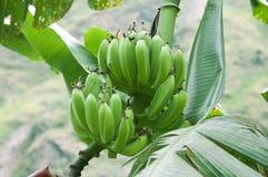 Plátano verde Foto de archivo libre de regalías
