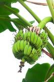 Plátano verde en aislante del árbol en sumer sping imagen de archivo libre de regalías