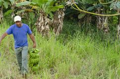 Plátanos cosechados que cuidan foto de archivo libre de regalías