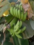Plátanos dulces comestibles foto de archivo
