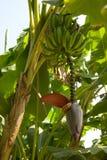 Plátanos en árbol Imagen de archivo libre de regalías