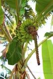 Plátanos en árbol Imagen de archivo