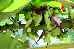 Plátanos en árbol Fotos de archivo libres de regalías