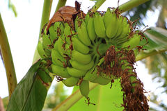 Plátanos en árbol Imagenes de archivo