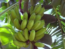 Plátanos en el árbol Foto de archivo libre de regalías