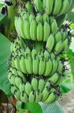 Plátanos en el árbol Foto de archivo