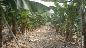 Plátanos en la plantación almacen de video