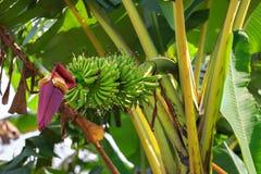 Plátanos en una palma del plátano Foto de archivo libre de regalías