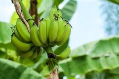 Plátanos inmaduros en granja Imágenes de archivo libres de regalías