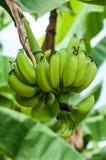 Plátanos inmaduros en la granja, tiro del primer Imagenes de archivo