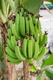 Plátanos inmaduros verdes Imagenes de archivo