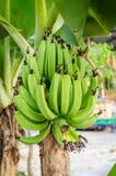 Plátanos inmaduros verdes Fotografía de archivo libre de regalías
