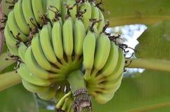 Plátanos inmaduros verdes en Tailandia Foto de archivo