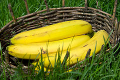 Plátanos maduros en una cesta vieja Hierba verde alrededor Foto de archivo