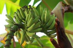 Plátanos no maduros en árbol de plátano Fotografía de archivo