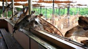 Plátanos que alimentan jirafas en parque del safari HD almacen de metraje de vídeo