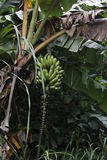 Plátanos que crecen en el salvaje Imágenes de archivo libres de regalías