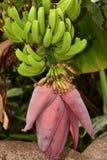 Plátanos que cuelgan de vid Fotos de archivo