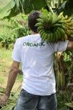 Plátanos que llevan del granjero orgánico Imagen de archivo libre de regalías