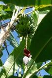 Plátanos que maduran en el árbol Imagen de archivo libre de regalías