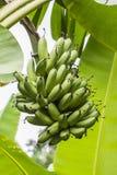 Plátanos verdes Foto de archivo